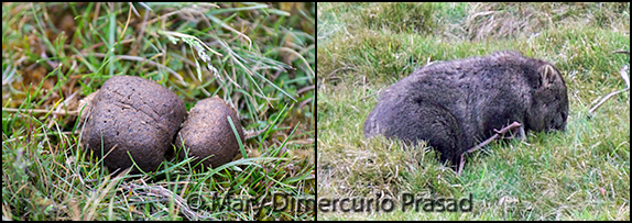 (L) Cubes (not the wooden type); (R) Wombat